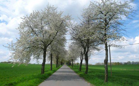Kirschbaumallee nach Kieve